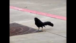 ZANATE Great Tailed Grackle And It's Beautiful Sounds