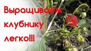 видео Выращивание клубники на балконе: посадка, уход, фото, выбираем