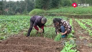 农村四哥:农村婆媳出门种菜,叫奶奶帮忙看着家门,这就是简单幸福的生活