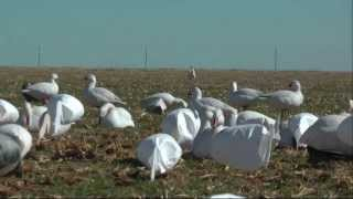 High Flying Outfitters- 191 Snow goose Hunt