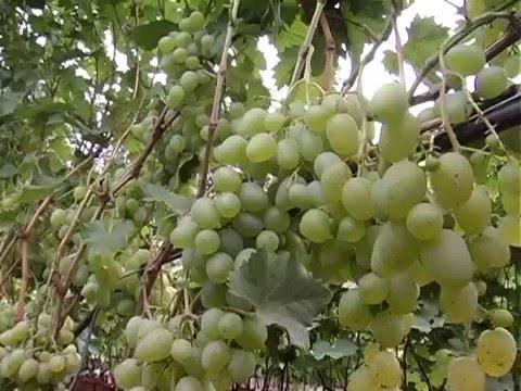 Кинельский виноград. Самый северный виноградник России!