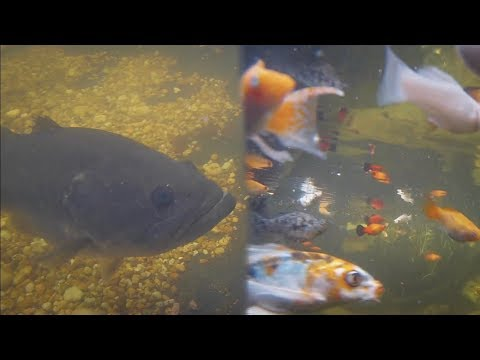 FEEDING my BACKYARD FISH | Underwater Edition