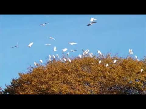 Cattle egret birds in RAASM - Aironi guardabuoi in RAASM