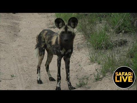 safariLIVE - Sunrise Safari - January 20, 2019