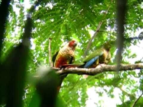 Azuero Parakeet (Pyrrhura eisenmanni) after copulating