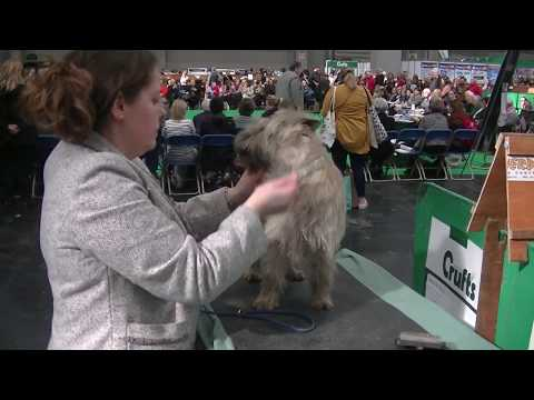 Cairn Terrier Crufts 2020