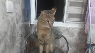 Камышовый кот Хаус