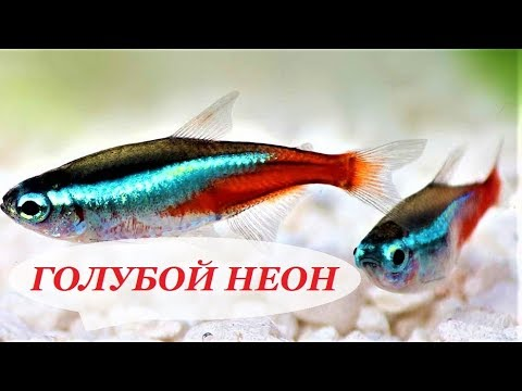 Голубой Неон. Содержание, разведение в аквариуме, совместимость