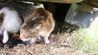 Кошка принимает роды у своей подруги