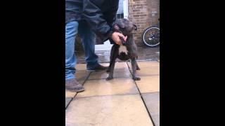 World Class Blue Staffordshire Bull Terrier