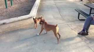 Adorable Boxer Dog Playing In The Park