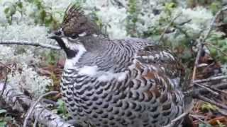 Järpe / Hazel Grouse