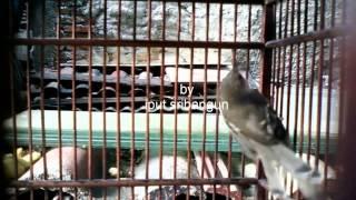 donload suara burung ciblek mp3