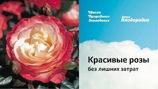 Красивые розы без лишних затрат
