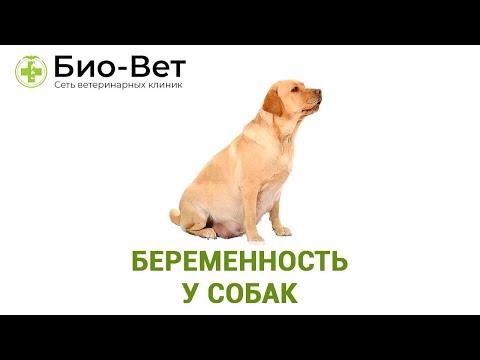 Беременность У Собак & Cколько Длится Беременность У Собак. Ветклиника Био-Вет