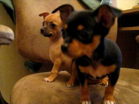 8 Week Old Chihuahua Puppies Youtube