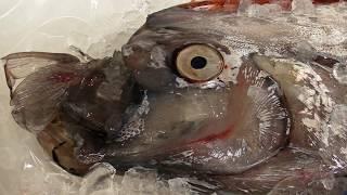 幻の深海魚 「リュウグウノツカイ」 2013 Giant Oarfish