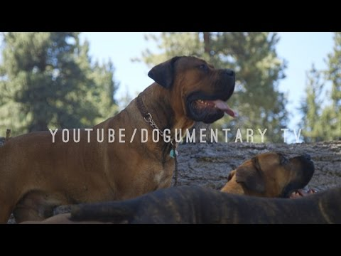 THE BOERBOEL OF BIG BEAR MOUNTAIN, CALIFORNIA