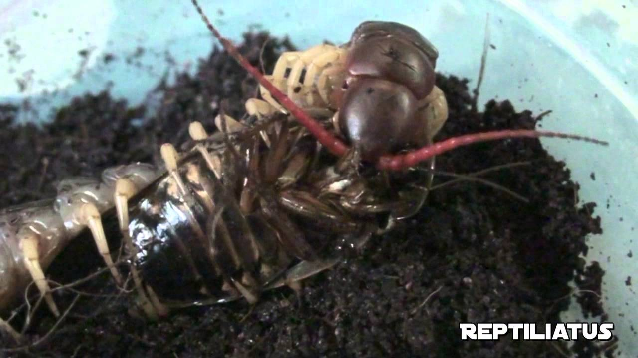 pet giant centipede feeding live cockroach feeding youtube. Black Bedroom Furniture Sets. Home Design Ideas