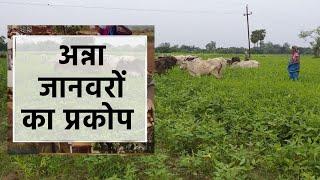 बाँदा: खुले में घूम रहे अन्ना जानवरों से परेशान लोगों ने दिया ज्ञापन | KhabarLahariya