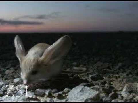Long-eared Jerboa: extraordinary desert creature