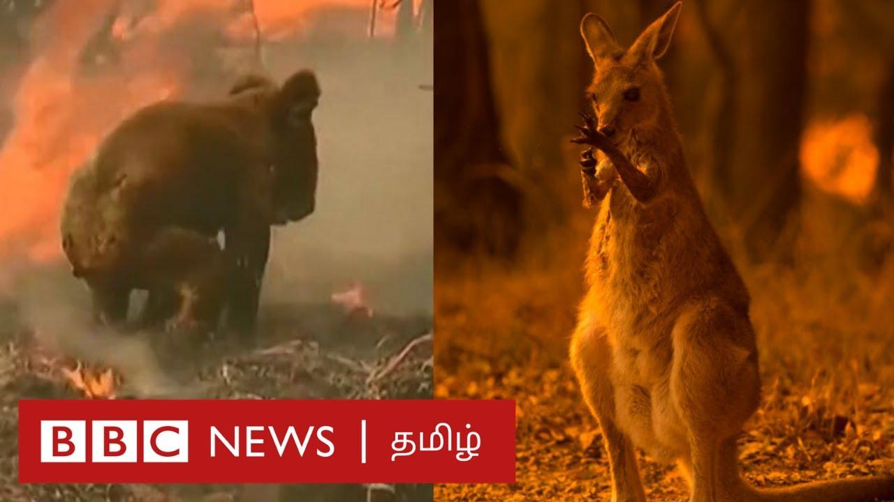 「australia fire animals」的圖片搜尋結果