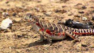 Lizards of the San Joaquin Valley