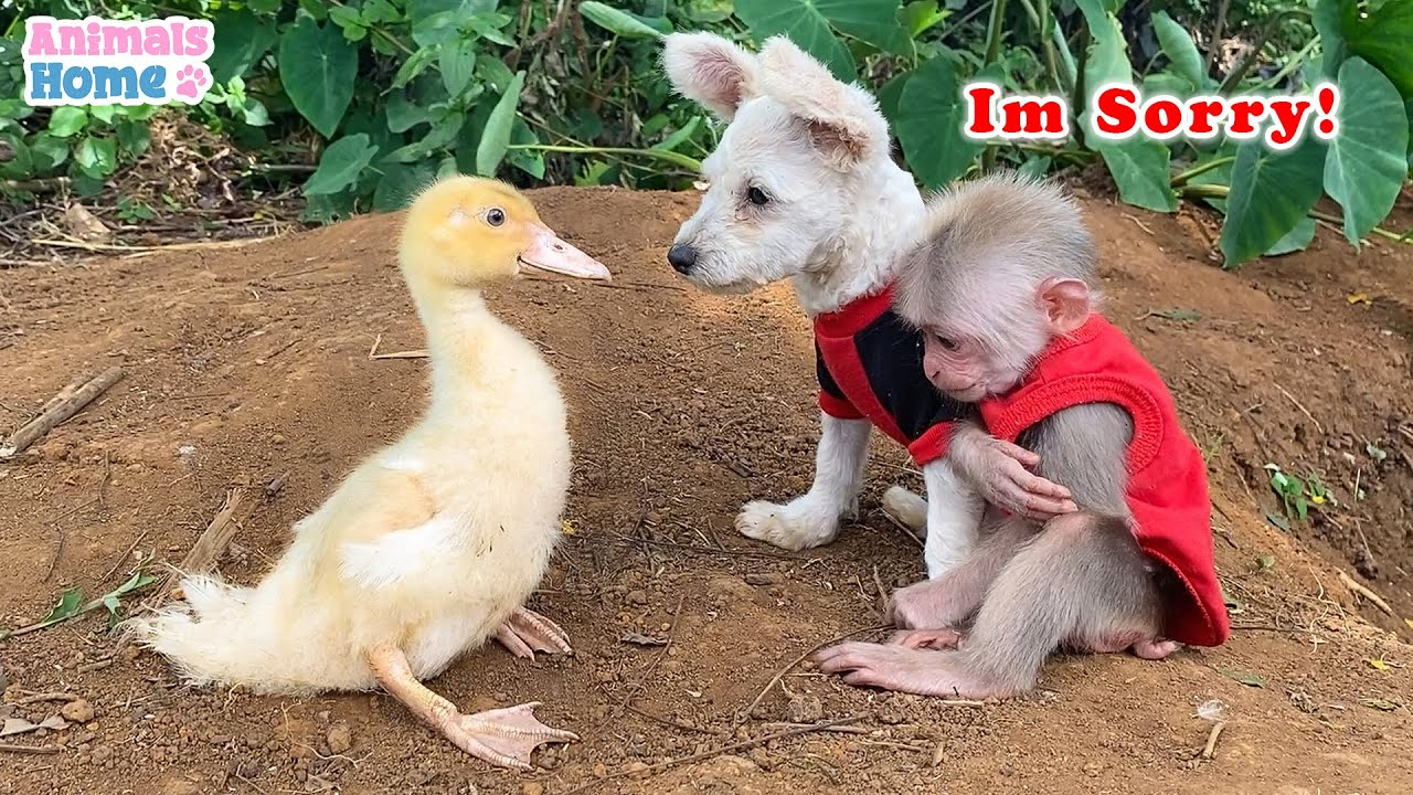 BiBi monkey plays funny with naughty duck and puppy