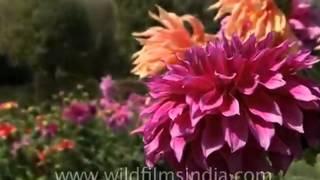 Cara Perkembangbiakan Bunga Dahlia  - SMS:089611410430 - BenihBunga.com - Grosir & Eceran
