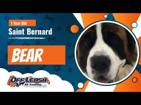 1 Year Old Saint Bernard, Bear | Large Breed Reactive Dog Training | OffLeash K9 Training