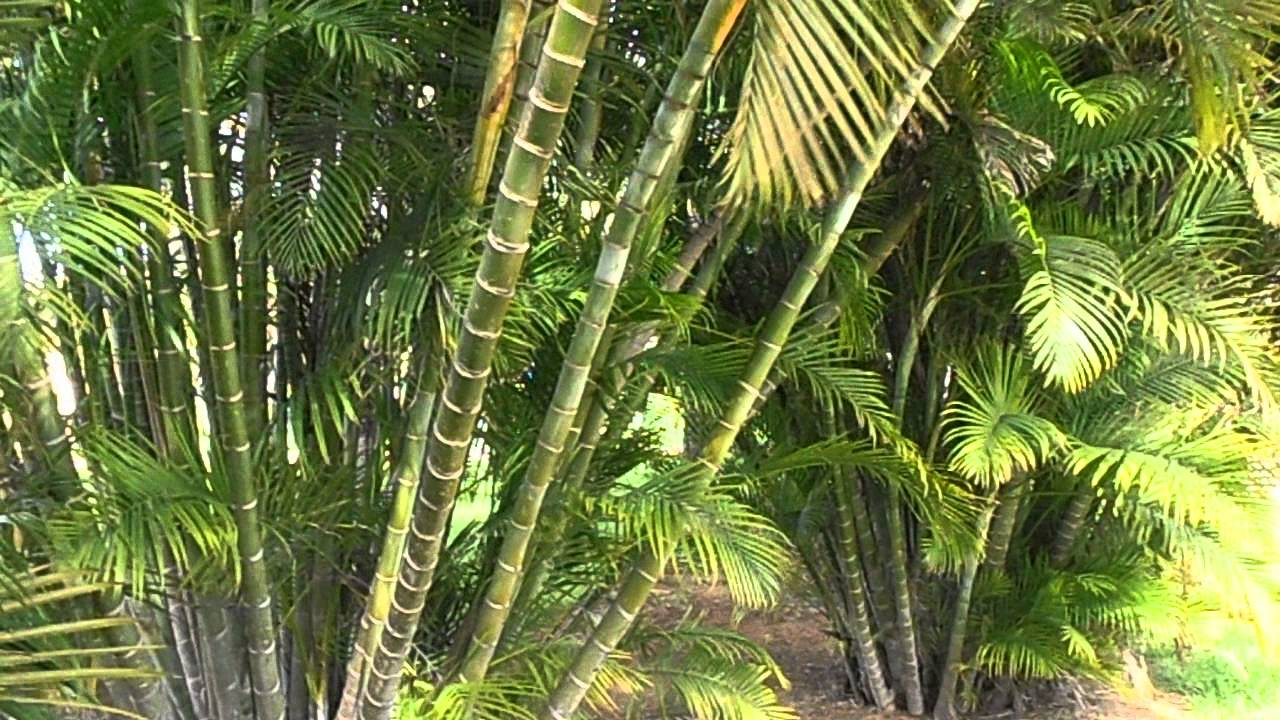 Palmera bamb dypsis lutescens youtube - Variedades de palmeras de exterior ...