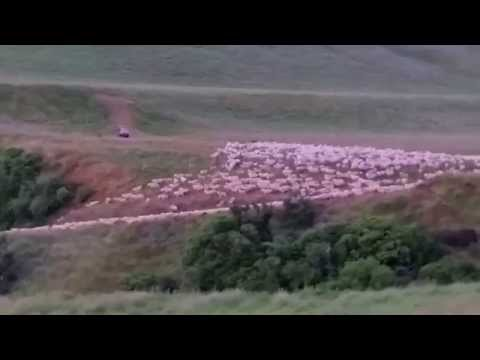 Sheep and working dogs in action in beautiful New Zealand