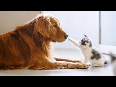 Как шотландские кошки относятся к собакам