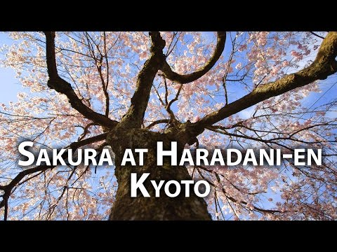 beautiful-kyoto:-cherry-blossoms-at-haradani-en-garden