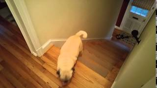 One Pug Hops Up Stairs & Other Pug Barrels Up