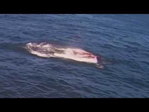 Great White Shark Attack in San Francisco Bay