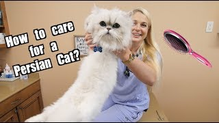 How To Care for a Persian Cat?