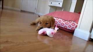 Puppy Golden Retriever Playing | Mesa Day 2