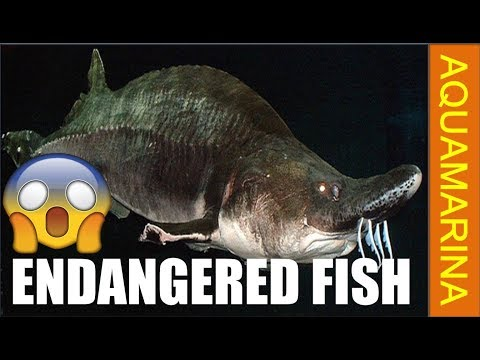 Top 10 Endangered Fish Species In The World | Fishes On Way Of Extinction