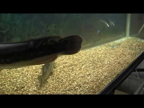 Snakehead Micropeltes Vs Pike