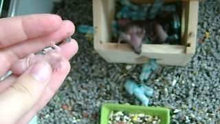 Intégration de bébés souris chez une autre maman New mother for babies mice