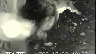 Лев против тигра(http://vk.com/boi_zverei Бои всего живого на земле,кроме человека и собачьих боев., 2013-07-08T05:42:35.000Z)