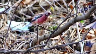 赤い鳥オオマシコとベニマシコの水浴び(4K)
