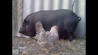 Прикол! Курица-проктолог(Спасибо за просмотр, надеюсь Вам понравилось моё видео. Ставьте