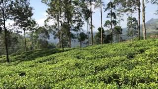 Blue field tea plantation Sri Lanka
