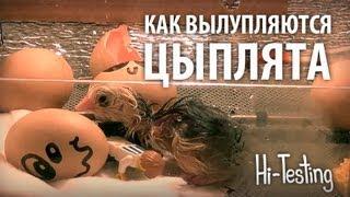 Как вылупляются цыплята - реальное видео из инкубатора(Вконтакте - http://vk.com/hitesting Сайт - http://hi-testing.ru/ Реальное видео из инкубатора - вылупление цыплят из яиц. HI-TESTING..., 2013-03-13T15:20:32.000Z)