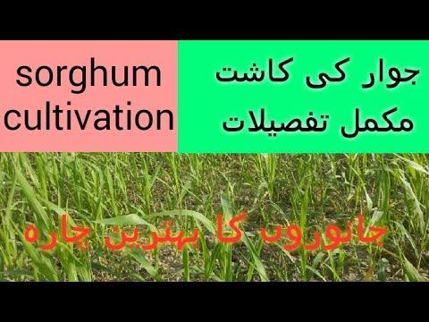 Download jawar ki kasht krny ka tariqa (urdu-hindi)   sorghum cultivation tips