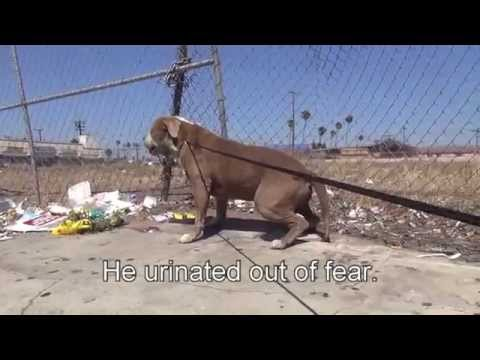 Pit Bull Rescue in South Central Los Angeles   Please share