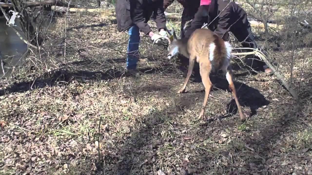 Man Tries To Save Deer Deer Tries To Kill Man Man Breaks