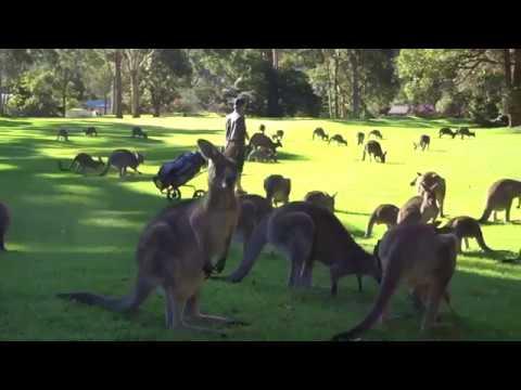 Fleet of Kangaroos Land on Golf Course